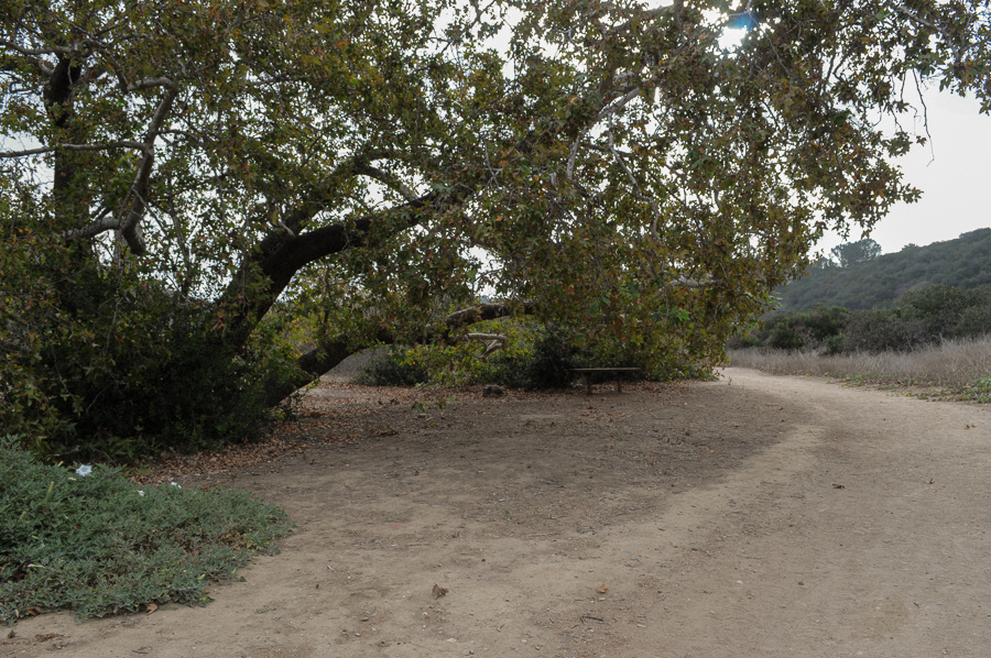 A large sycamore tree hangs over a bench in Tecolote Canyon