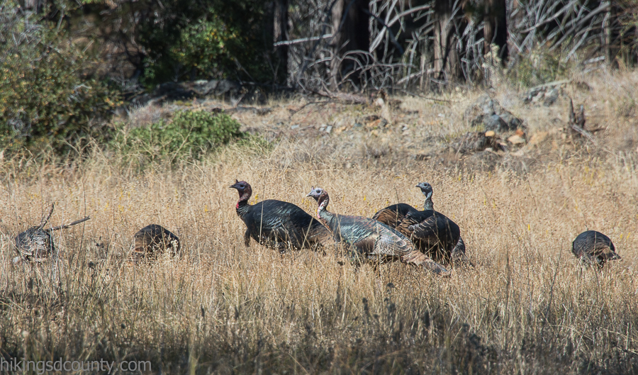 A flock of turkeys along the French Valley Trail