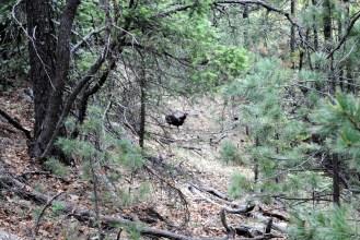 Wild turkeys.