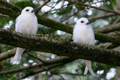 White terns on Lord Howe Island