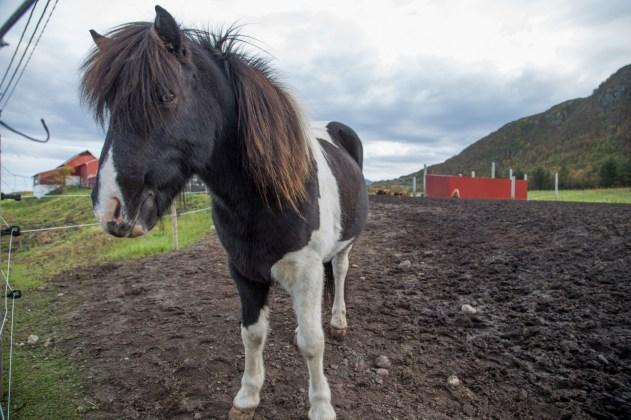 Horse farm with Icelandic horses on Gimsøy