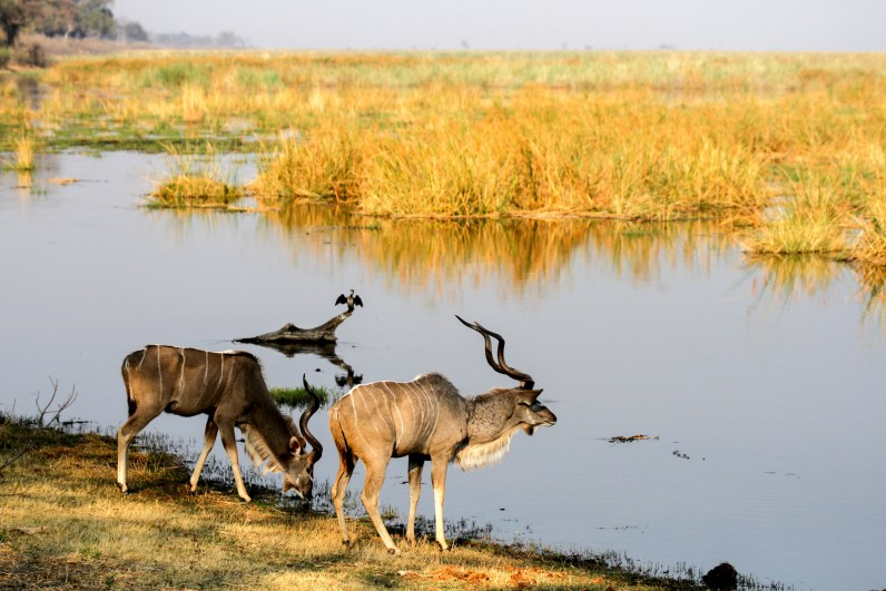 Two male kudu drinking from Linyanti River