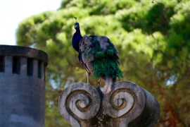 There were many peacocks in the gardens