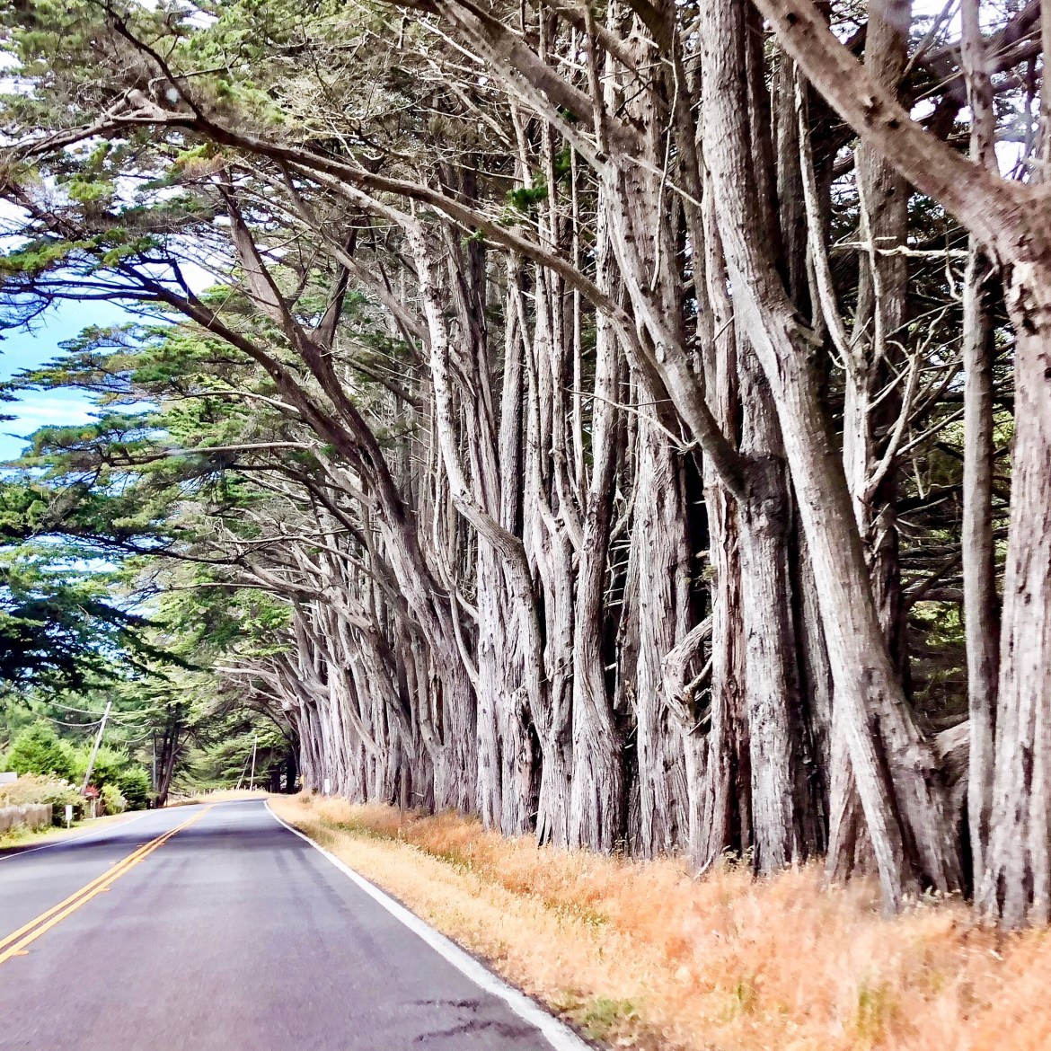 Cypress Trees in Point Arena California