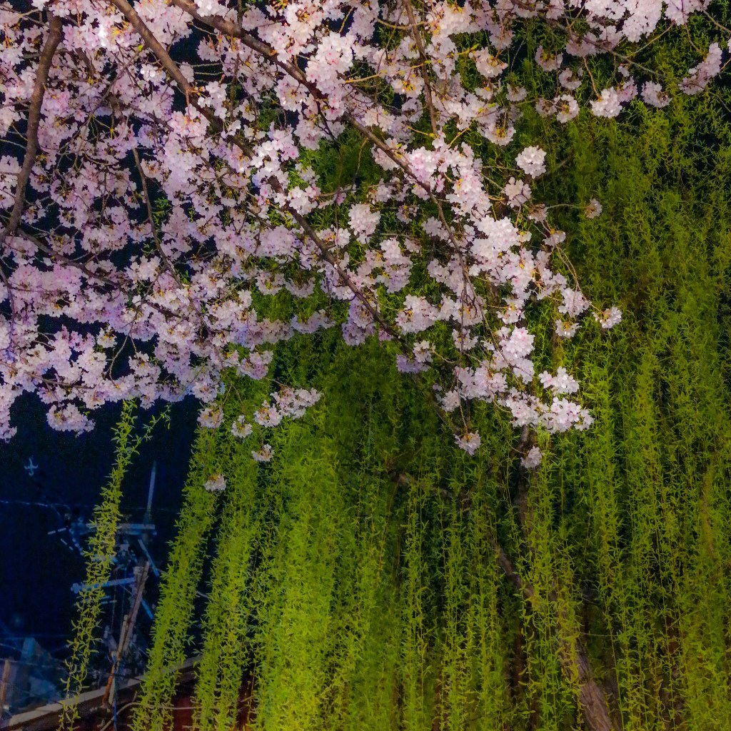 Cherry Blossoms Gion District Kyoto Japan #kyoto