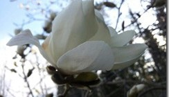 magnolia2012_thumb.jpg
