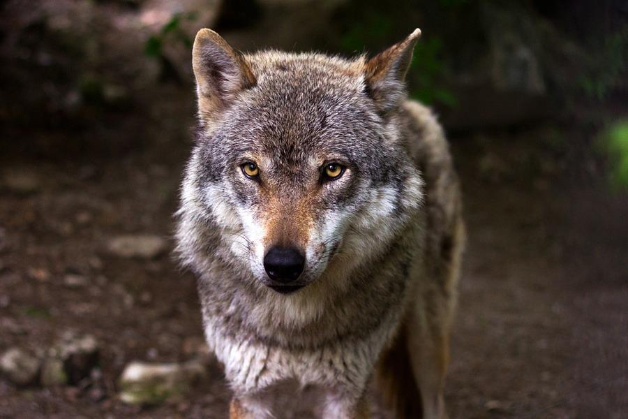 Geregelte Entnahme von Wölfen bald möglich