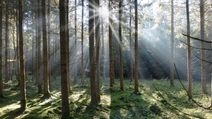 Waldzustandsbericht 2018: Trockenheißer Sommer und Borkenkäfer setzen Fichtenwäldern zu