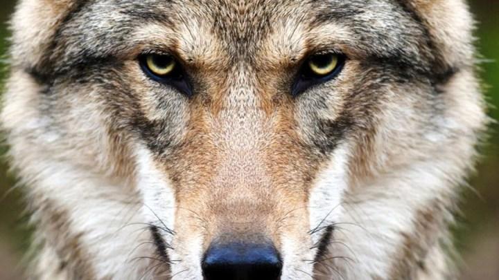 Gemeinsam für ein aktives Wolfsmanagement