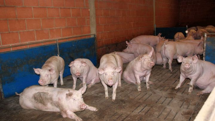 Schweinehalter fordern Ausnahmeregelungen