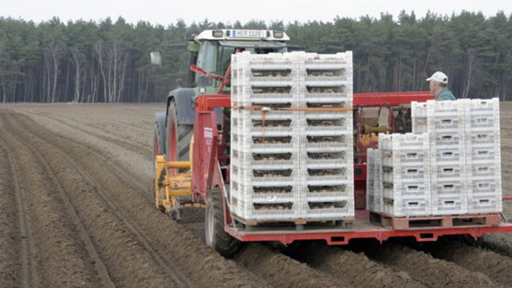 Frühkartoffeln kommen in die Erde