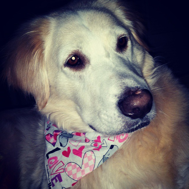 Hamlet, the dog, wears a Valentine's Day bandana