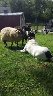 sheep-3