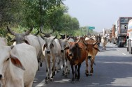 Cow herd in traffic