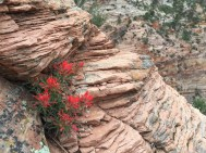 Indian Paintrbush on Angels Landing