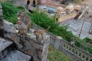 Rhesus macaques at Galta