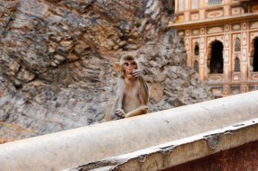 Pensive monkey at Galta in Jaipur, India