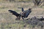 Vultures fight over lion scat