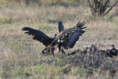 Vultures fight over lion scat