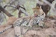 Leopard lick