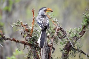 Hornbill (Zazu from Lion King)