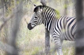 Zebra through the trees