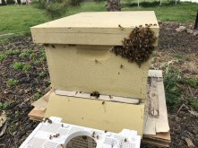Bees are pretty interested in the queen who is in that corner of the hive (but inside)