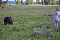 Tourists approaching bison
