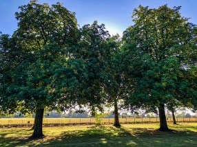 Trees in the morning - The Long Walk in Windsor, UK