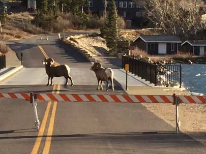 Found a couple of bighorn sheep lazing around the new bridge to the hotel
