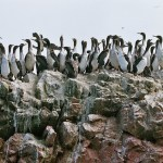 Ballestas Islands 鳥島