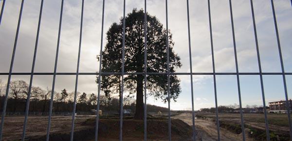 Metasequoias2