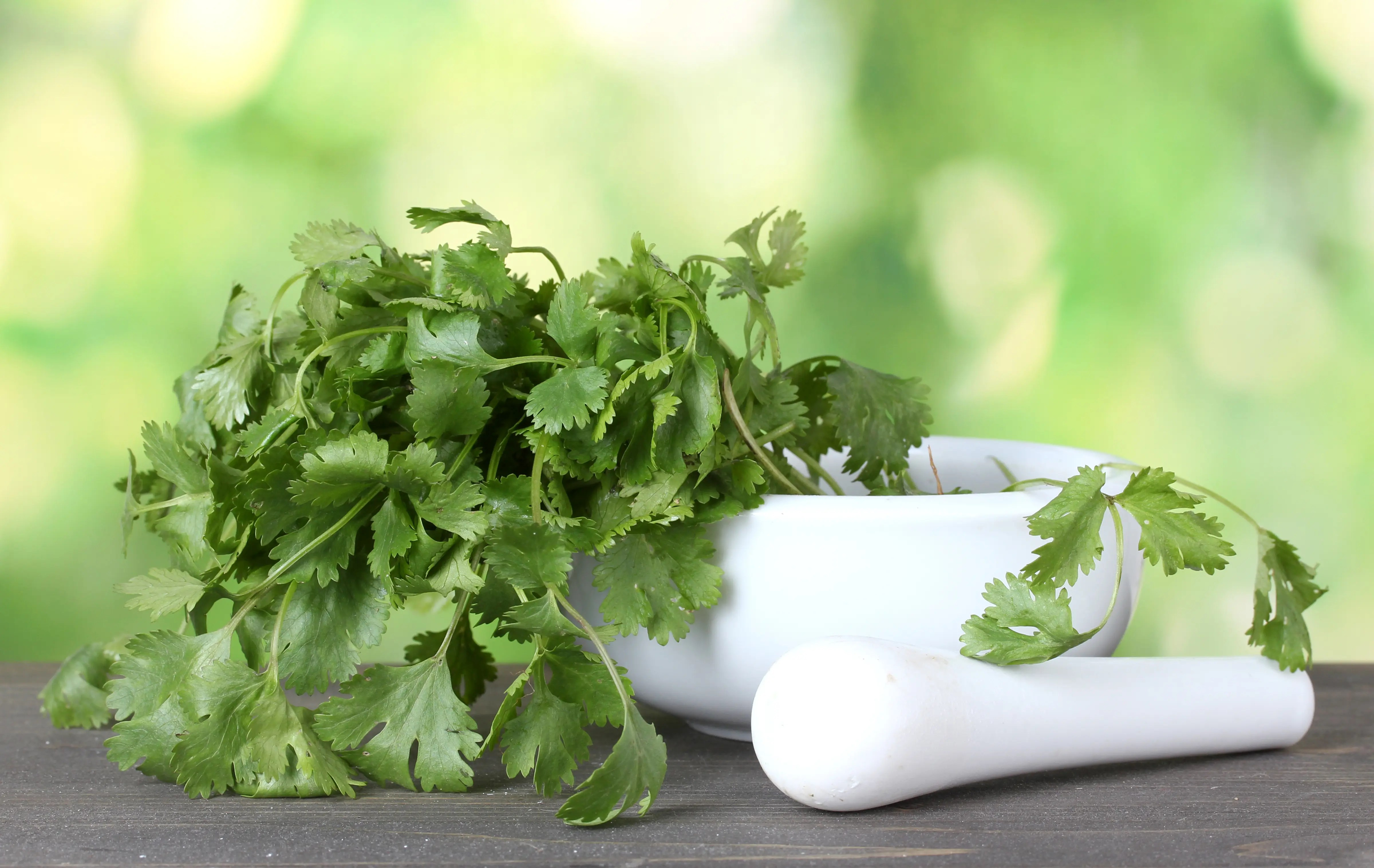 Guide to Growing Cilantro