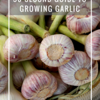 30 Second Guide to Growing Garlic