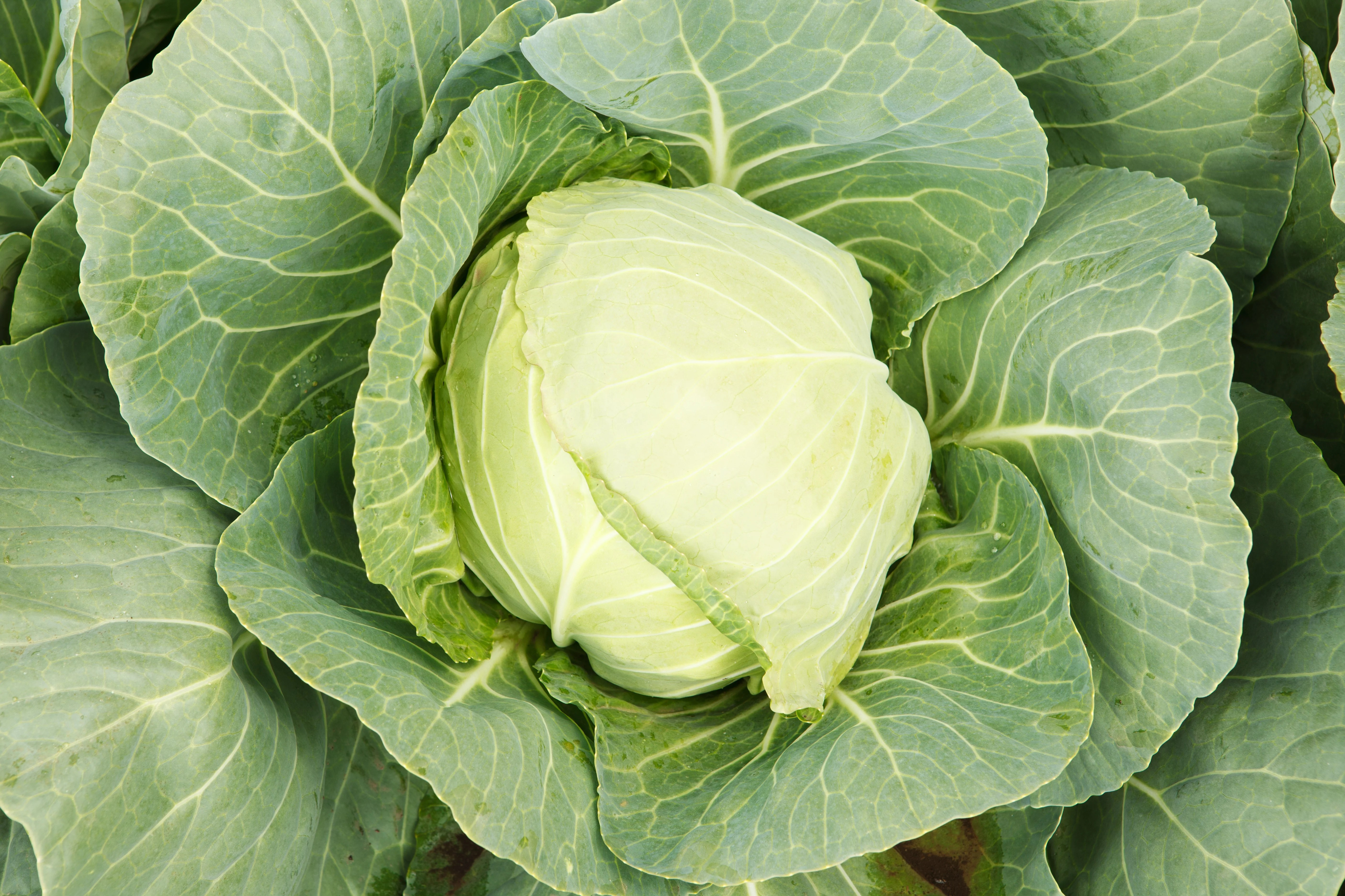 Everything You Need to Know to Get Started Growing Cabbage