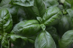 how to use basil companion planting guide plan how to