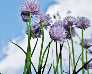 how to use chives companion planting repel insects guide plans