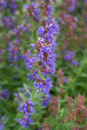 how to use hyssop in companion planting plans garden