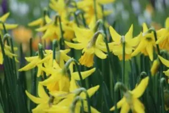 how to use daffodils companion planting plans guide