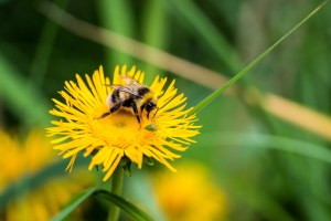 how to use dandelions companion planting guide plans