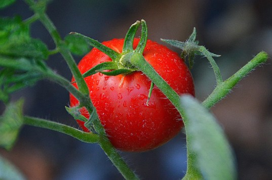 how to use tomatoes companion planting plants vegetables