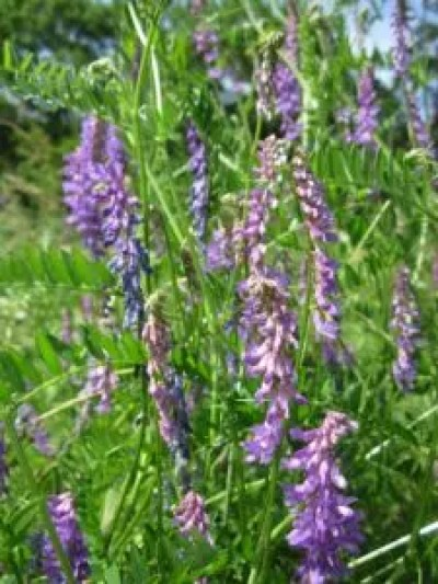 how to use hairy vetch companion planting