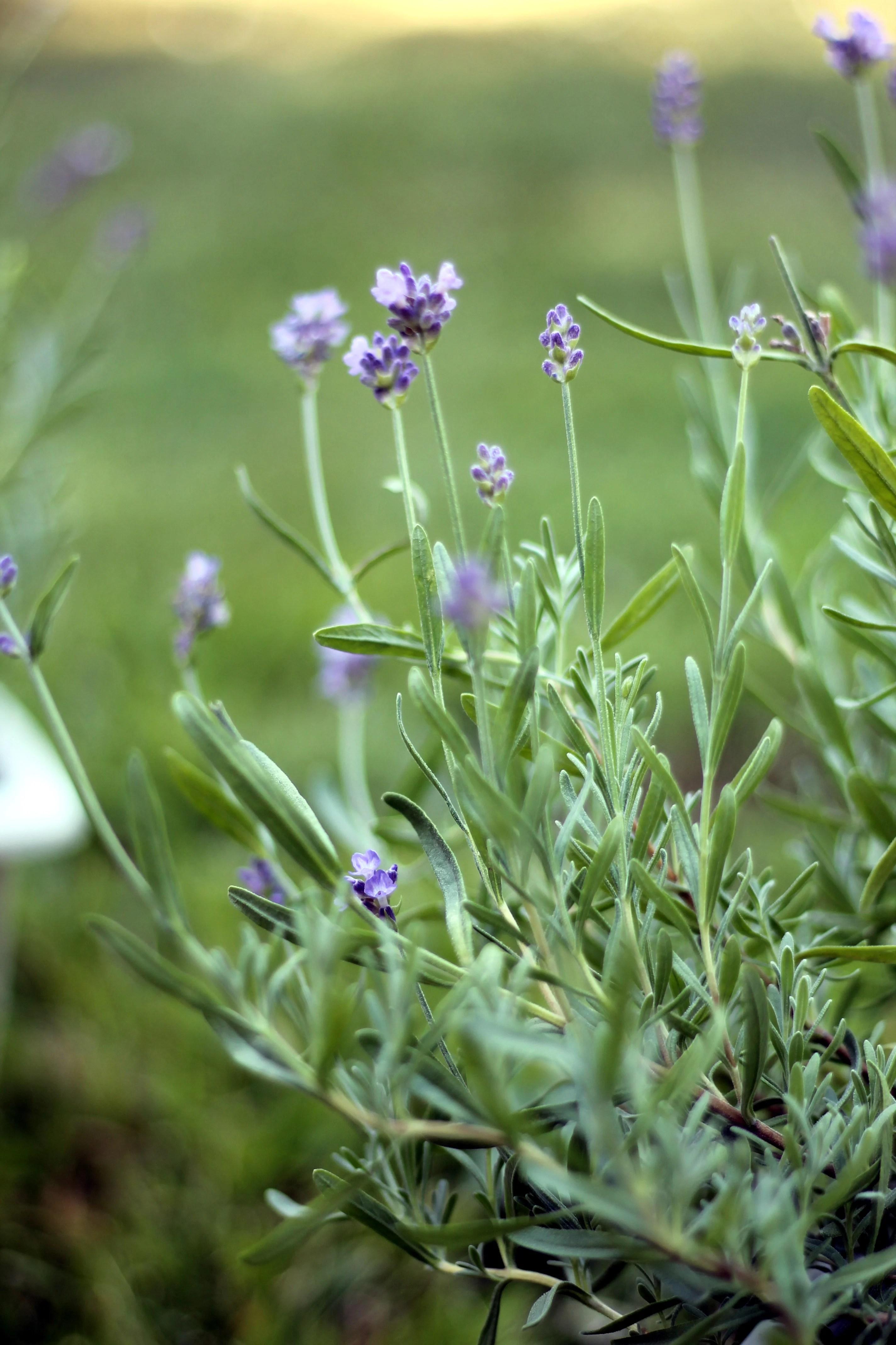Medicinal Plant Profile: Lavender