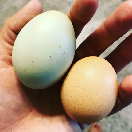 how many eggs chicken lay year month