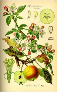 how to use apple trees medicinally