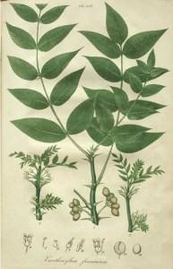 how to use ash trees medicinally