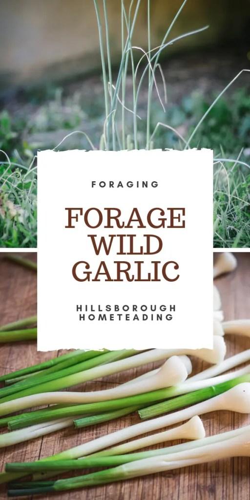 forage wild edible - wild garlic, crow garlic, field garlic