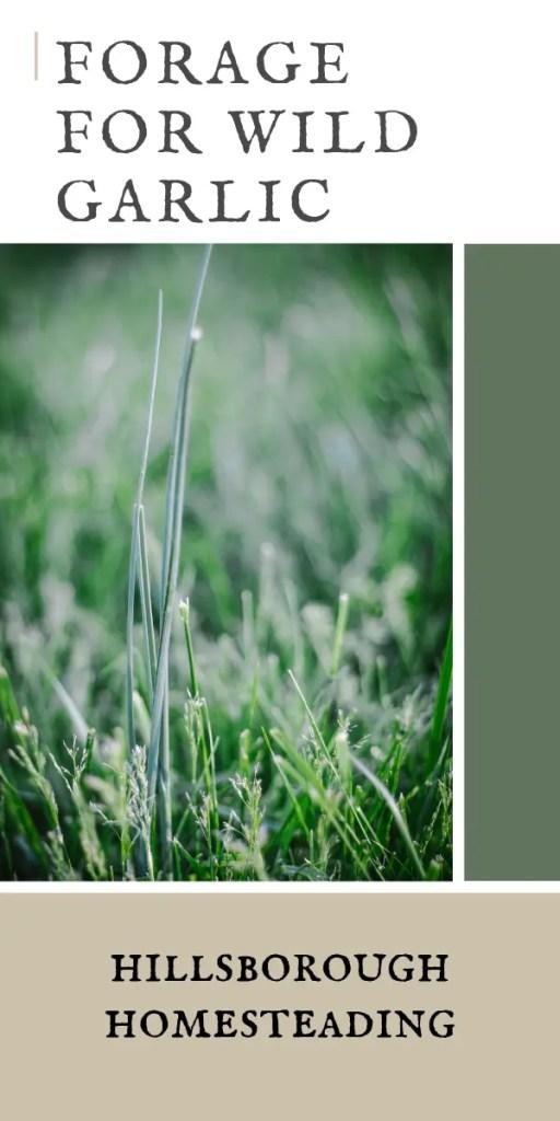 forage for wild garlic