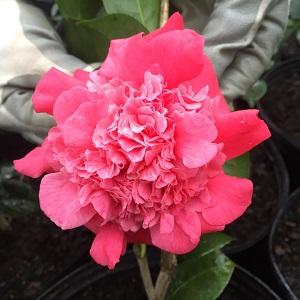 Camellia `Governor Mouton
