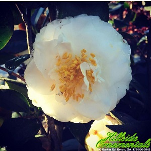 HO_Victory White Japonica